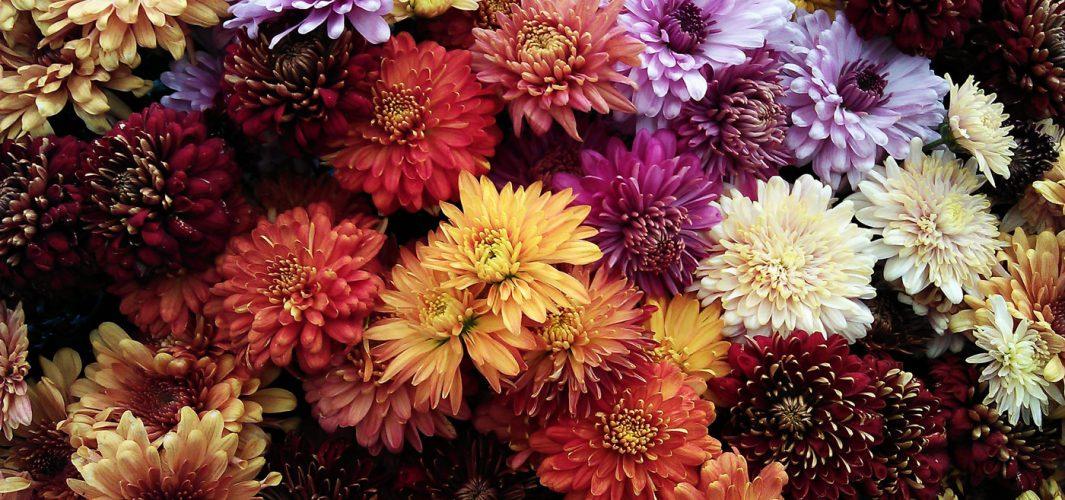 Planta de verano: dalia